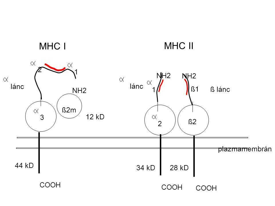 MHC I MHC II 2 1 NH2 NH2 lánc lánc NH2 1 ß1 ß lánc ß2m 3 12 kD ß2 2