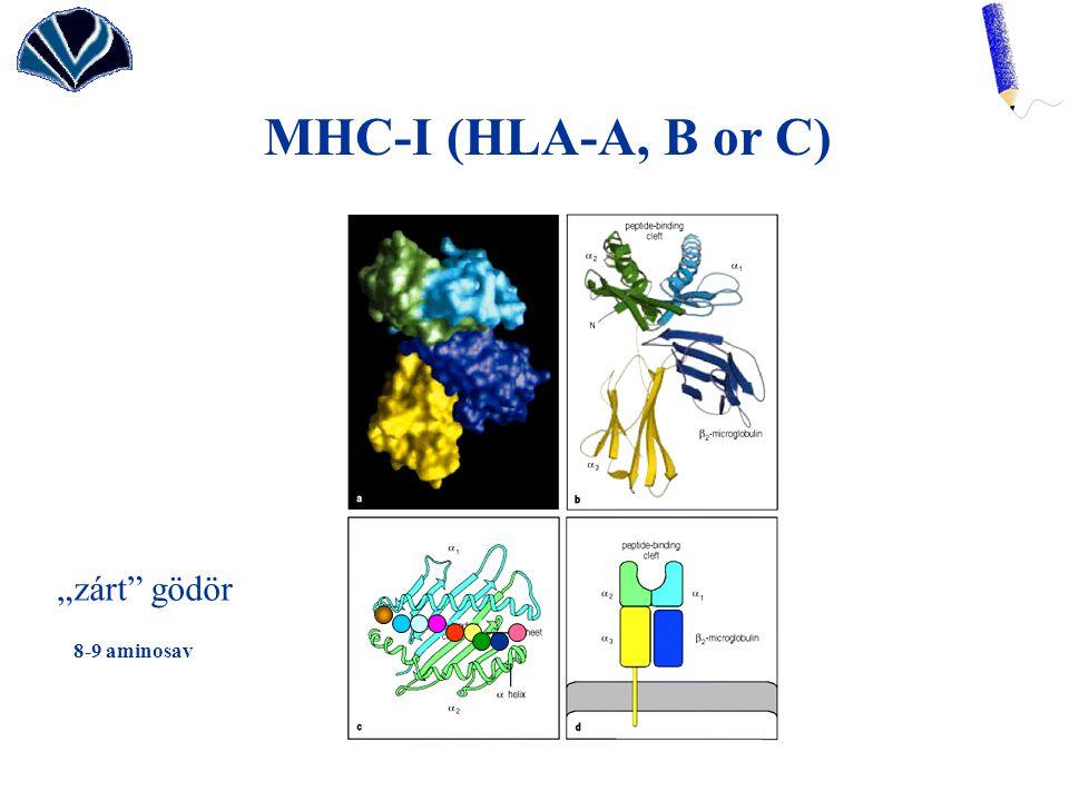 "MHC-I (HLA-A, B or C) ""zárt gödör 8-9 aminosav"