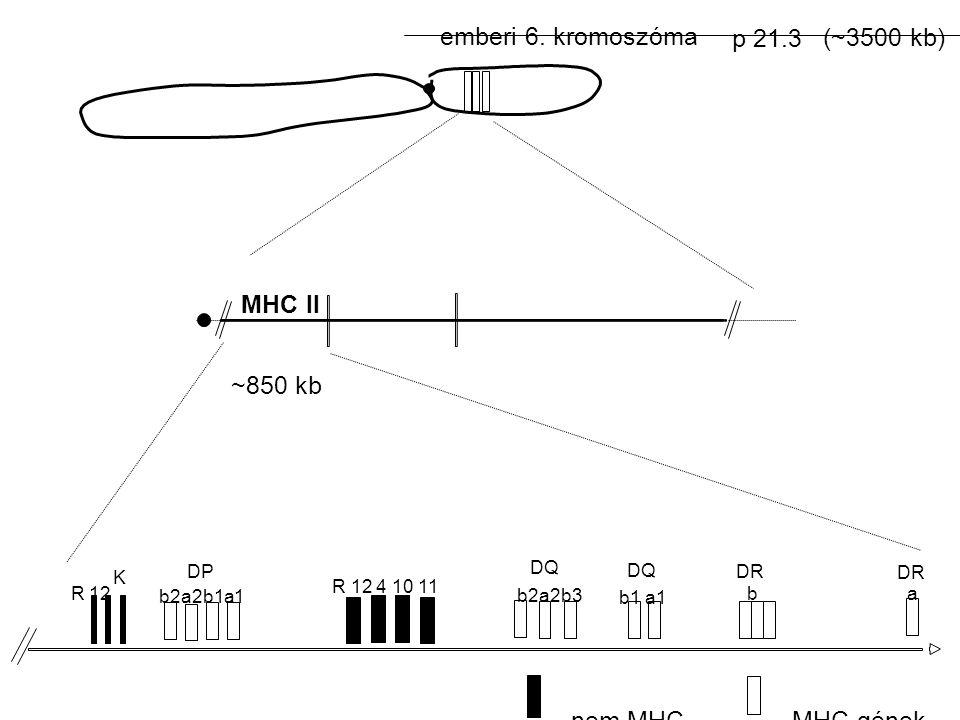 emberi 6. kromoszóma p 21.3 (~3500 kb) MHC II ~850 kb nem MHC-