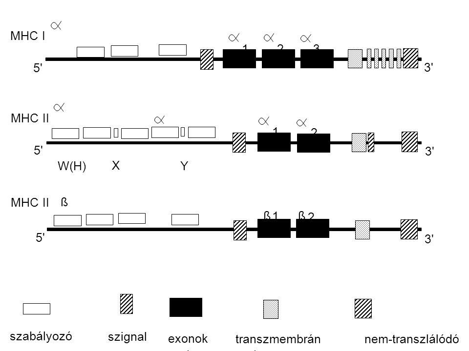 MHC I 1. 2. 3. 5 3 MHC II. 1. 2. 5 3 W(H) X. Y. MHC II. ß. ß. 1. ß. 2. 5 3