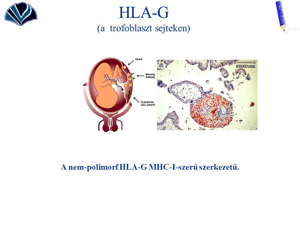 A nem-polimorf HLA-G MHC-I-szerű szerkezetű.