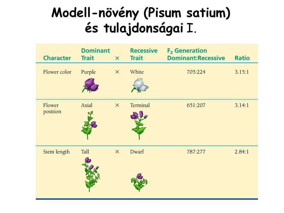 Modell-növény (Pisum satium)