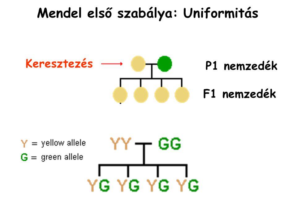 Mendel első szabálya: Uniformitás