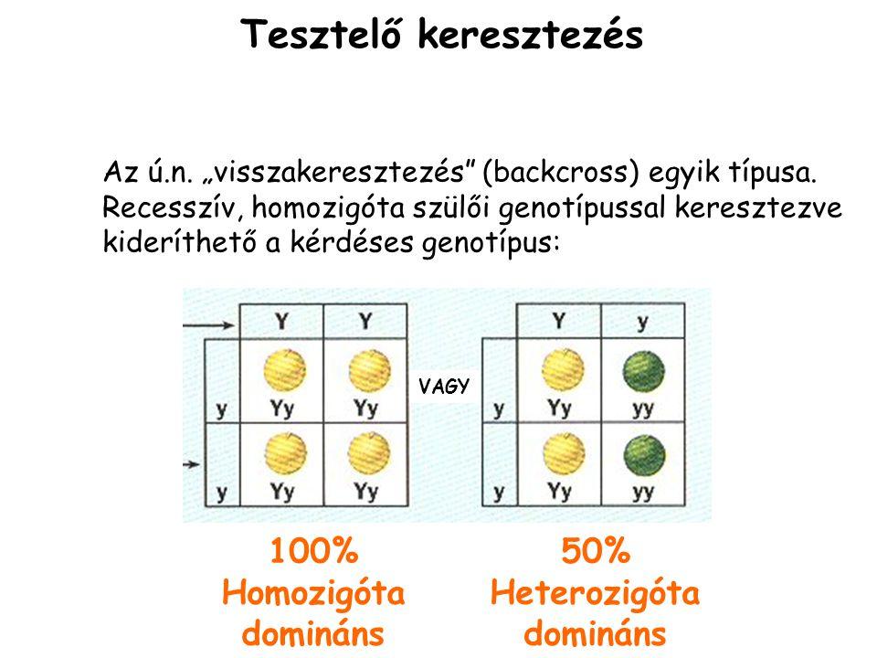 Tesztelő keresztezés 100% Homozigóta domináns 50% Heterozigóta
