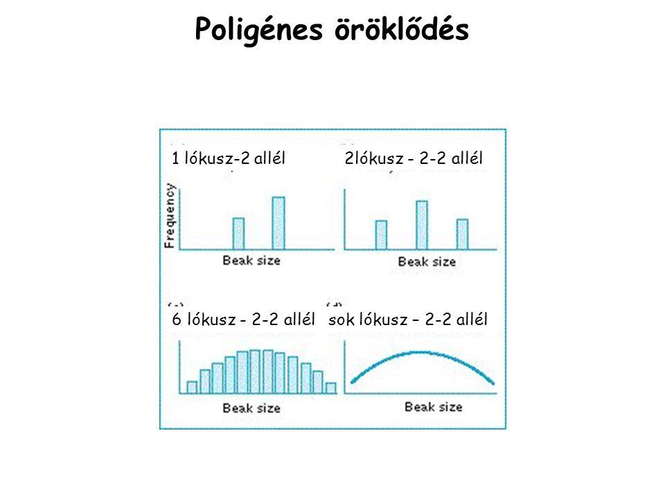 Poligénes öröklődés 1 lókusz-2 allél 2lókusz - 2-2 allél