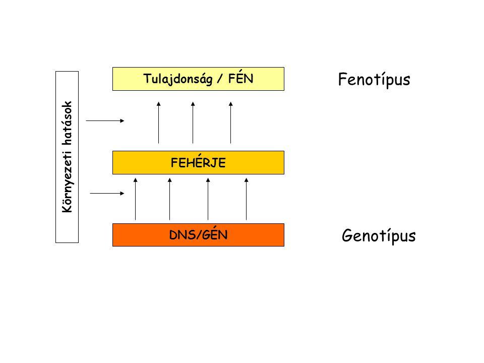 Fenotípus Genotípus Tulajdonság / FÉN Környezeti hatások FEHÉRJE