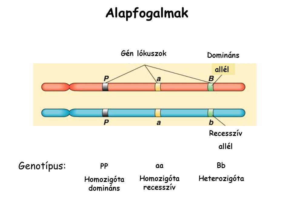 Alapfogalmak Genotípus: Gén lókuszok Domináns allél Recesszív allél PP