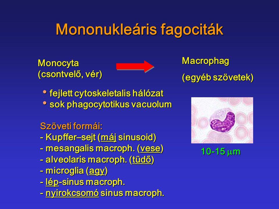 Mononukleáris fagociták