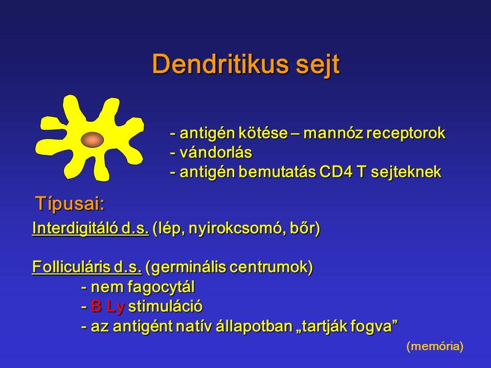 Dendritikus sejt Típusai: - antigén kötése – mannóz receptorok