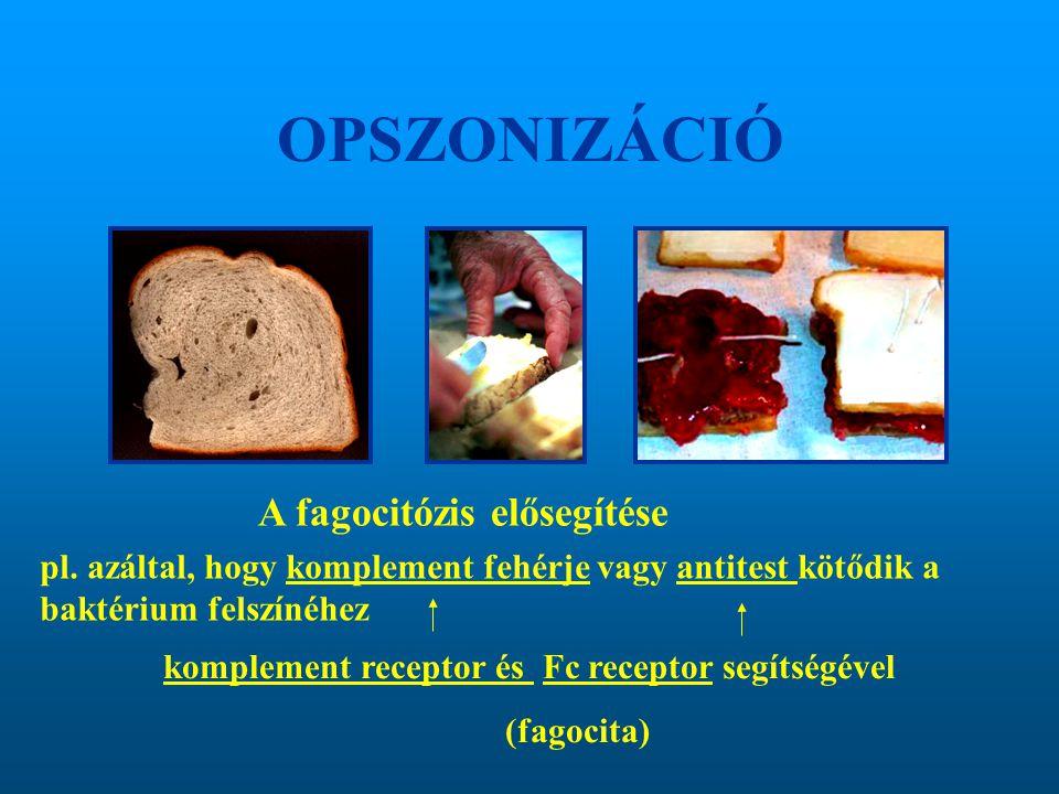 OPSZONIZÁCIÓ A fagocitózis elősegítése