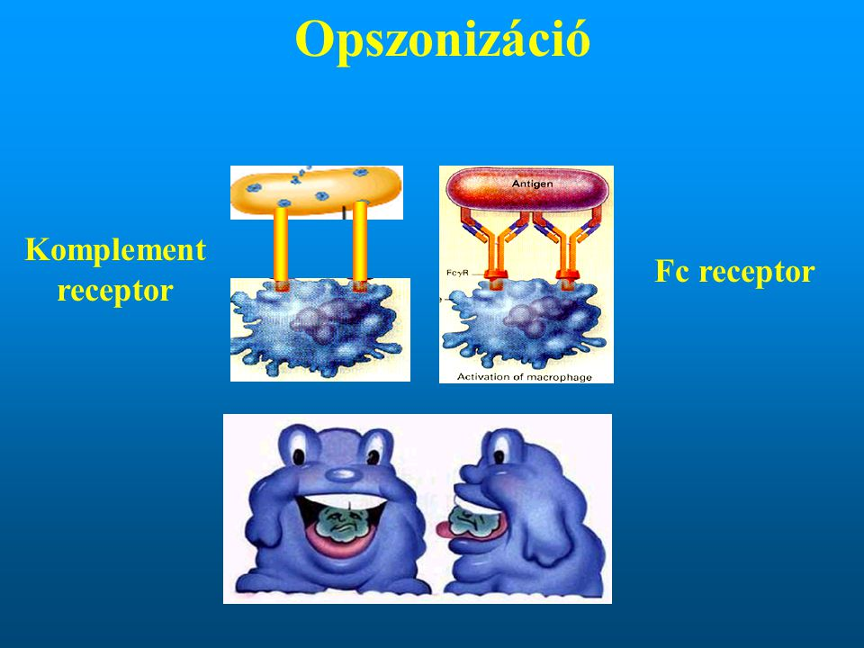 Opszonizáció Komplement receptor Fc receptor