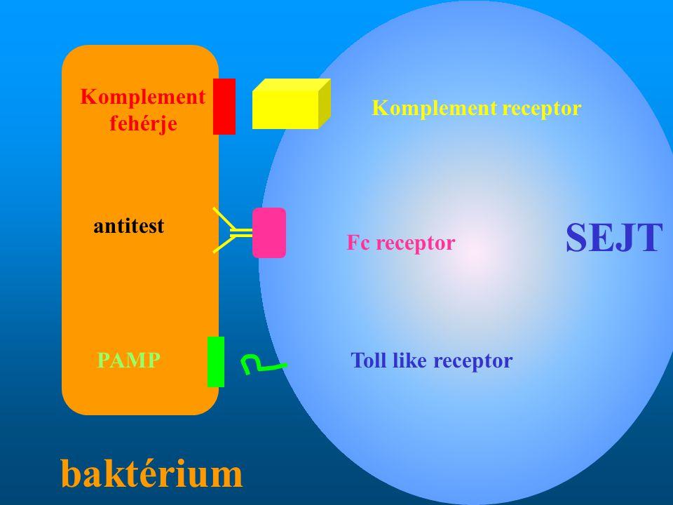 SEJT baktérium Komplement fehérje Komplement receptor antitest