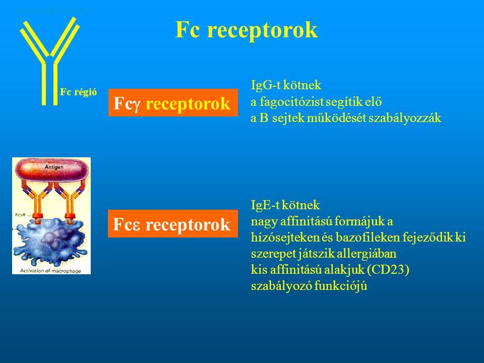 Fc receptorok Fcg receptorok Fce receptorok IgG-t kötnek