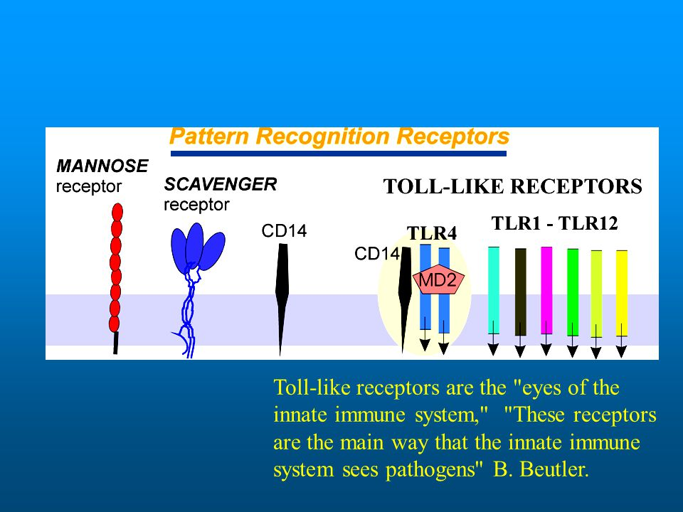 Toll-like receptors are the eyes of the innate immune system, These receptors are the main way that the innate immune system sees pathogens B.
