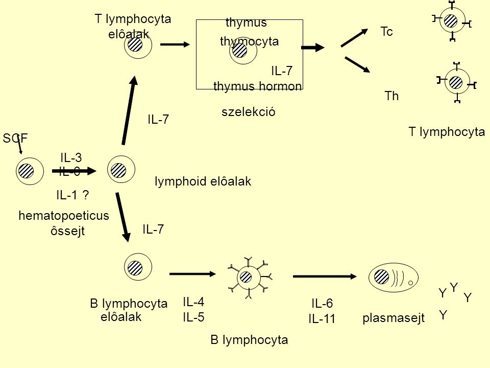 T lymphocyta thymus. elôalak. Tc. thymocyta. IL-7. thymus hormon. Th. szelekció. IL-7. T lymphocyta.