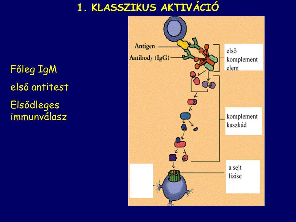 1. KLASSZIKUS AKTIVÁCIÓ Főleg IgM első antitest Elsődleges immunválasz