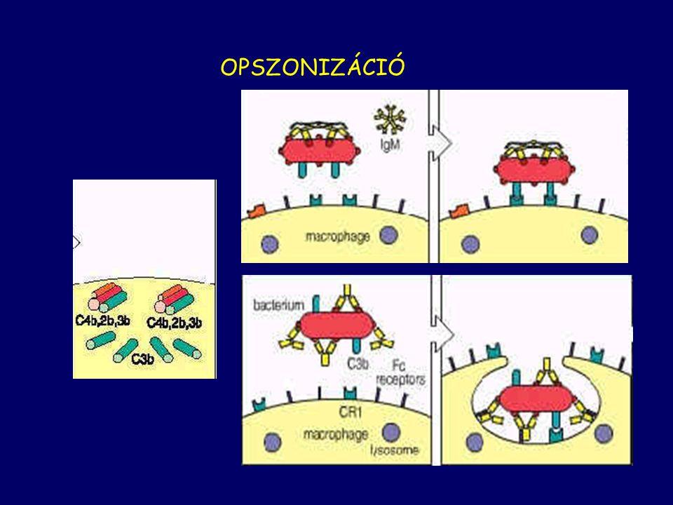 OPSZONIZÁCIÓ C3b also has a