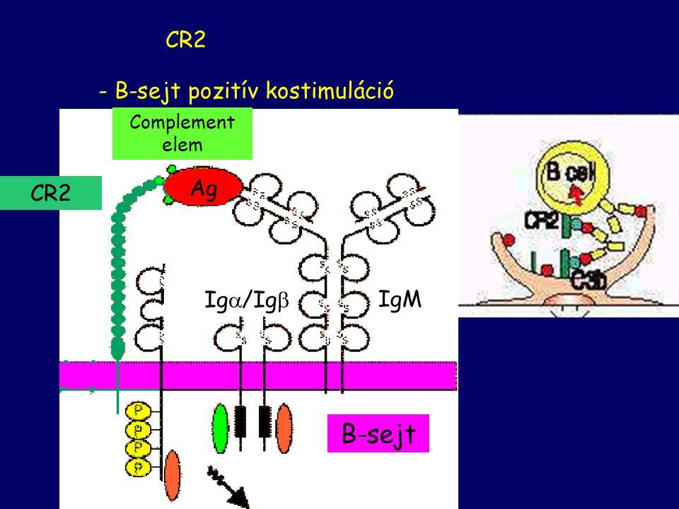 - B-sejt pozitív kostimuláció