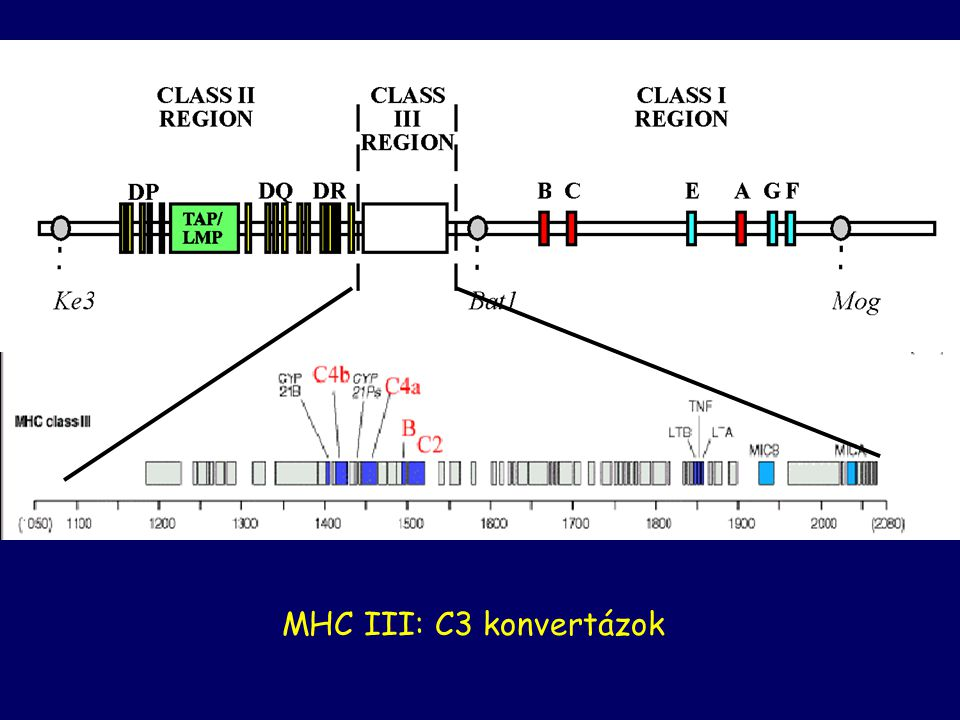 MHC III: C3 konvertázok The genes for C4, C2, and factor B are