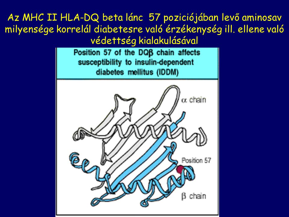 Az MHC II HLA-DQ beta lánc 57 poziciójában levő aminosav milyensége korrelál diabetesre való érzékenység ill.