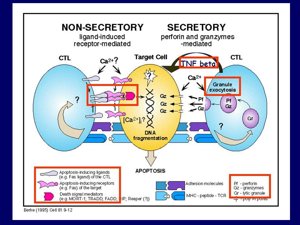 TNF beta Tumor cell