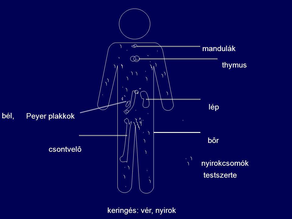 mandulák thymus lép bél, Peyer plakkok bôr csontvelô nyirokcsomók testszerte keringés: vér, nyirok