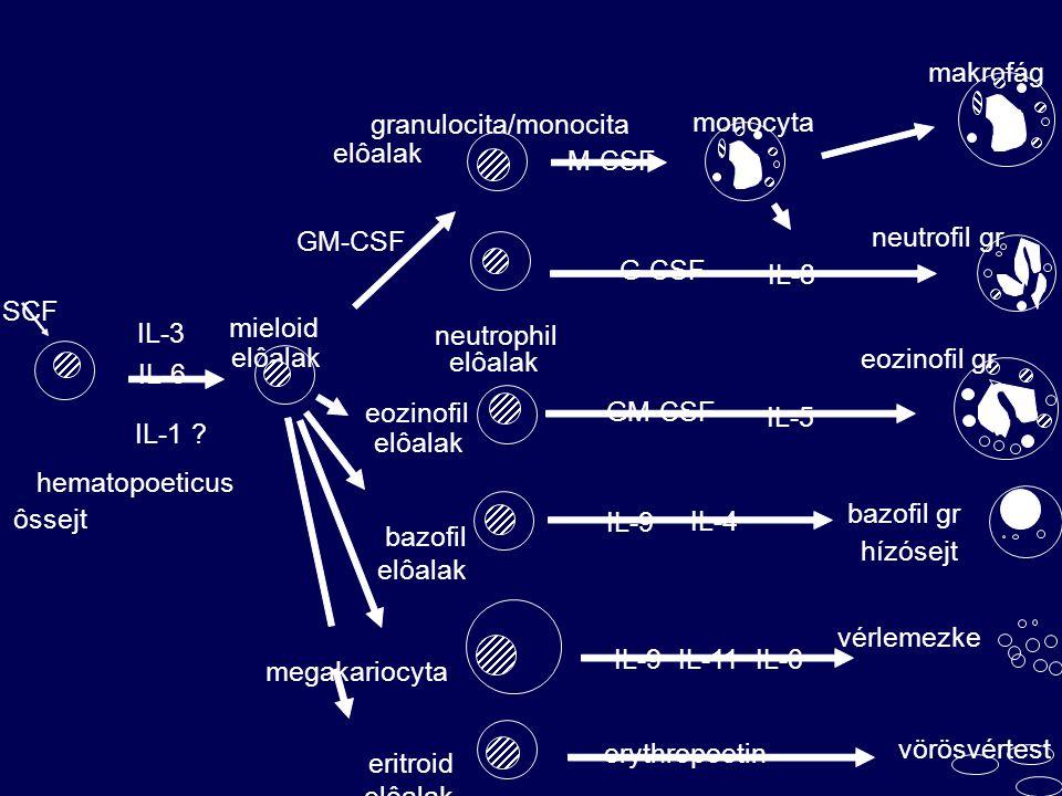 makrofág granulocita/monocita. monocyta. elôalak. M-CSF. GM-CSF. neutrofil gr. G-CSF. IL-8. SCF.