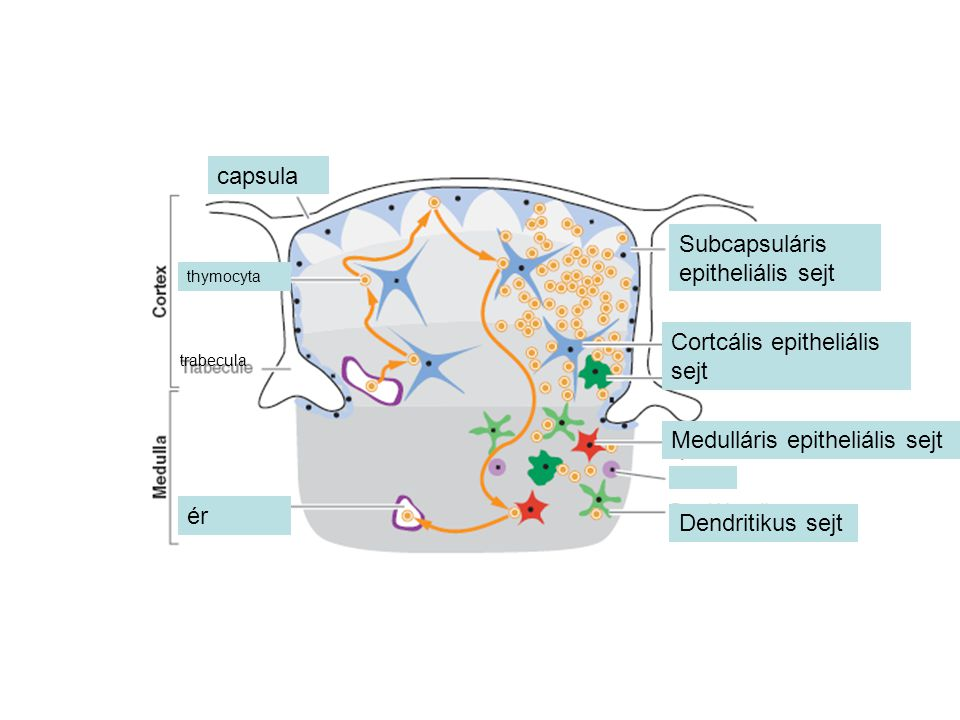 Subcapsuláris epitheliális sejt