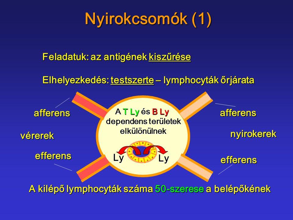 Nyirokcsomók (1) Feladatuk: az antigének kiszűrése