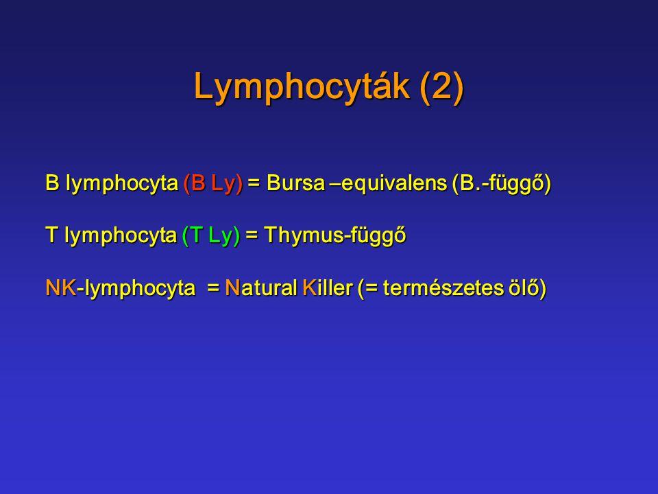 Lymphocyták (2) B lymphocyta (B Ly) = Bursa –equivalens (B.-függő)