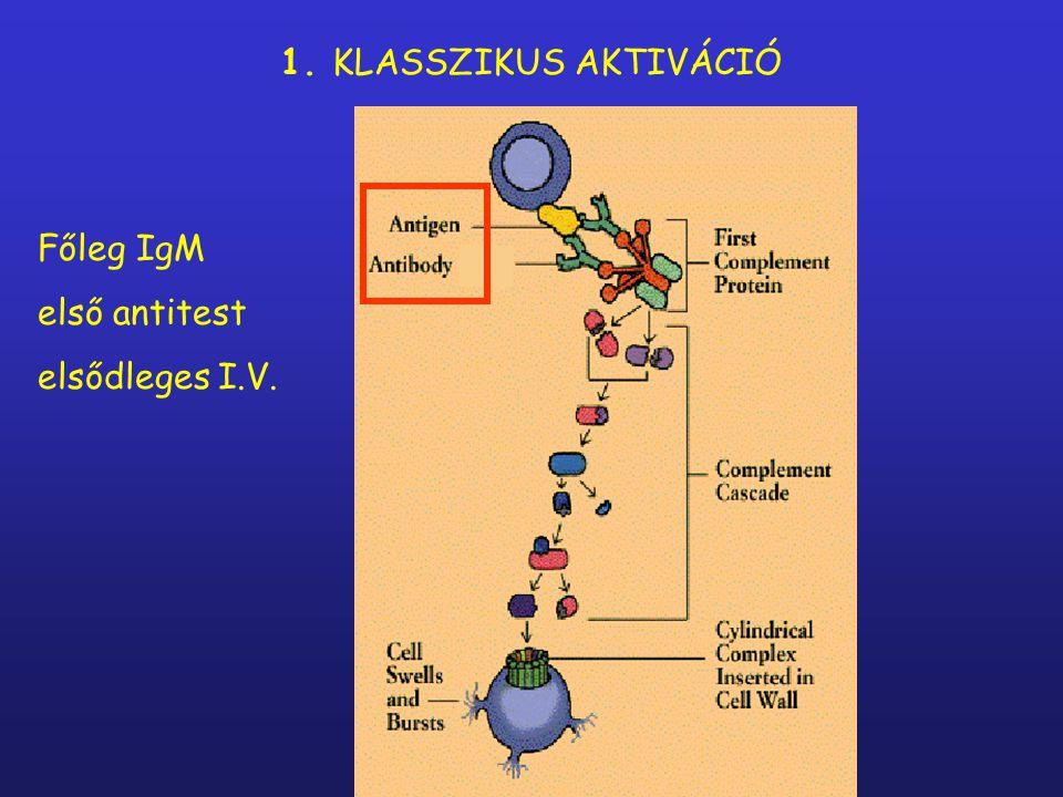 1. KLASSZIKUS AKTIVÁCIÓ Főleg IgM első antitest elsődleges I.V.
