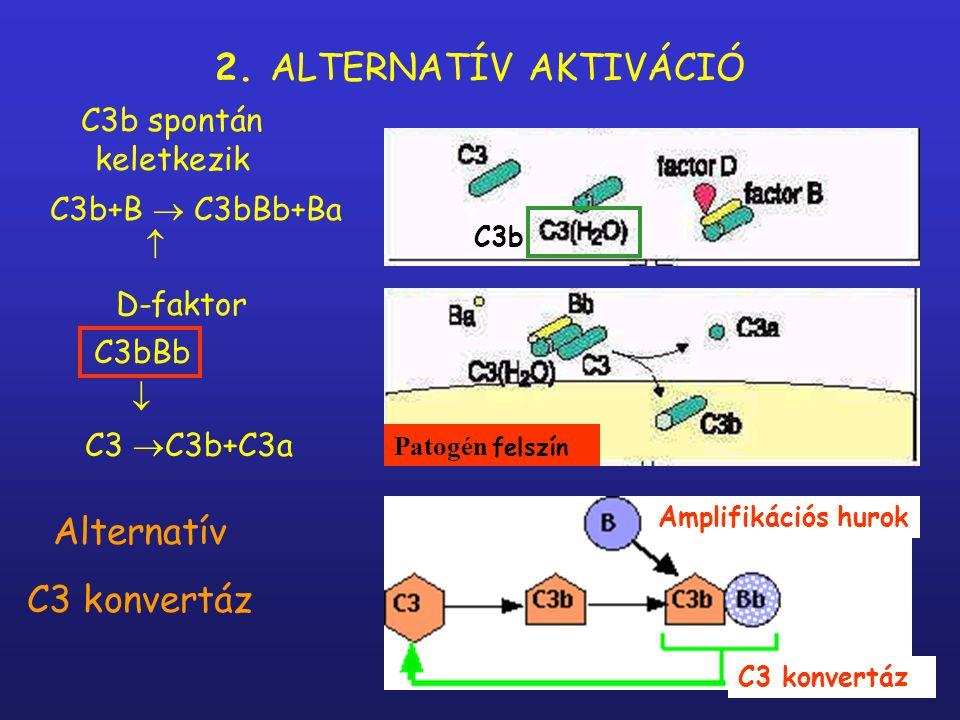 2. ALTERNATÍV AKTIVÁCIÓ Alternatív C3 konvertáz C3b spontán keletkezik