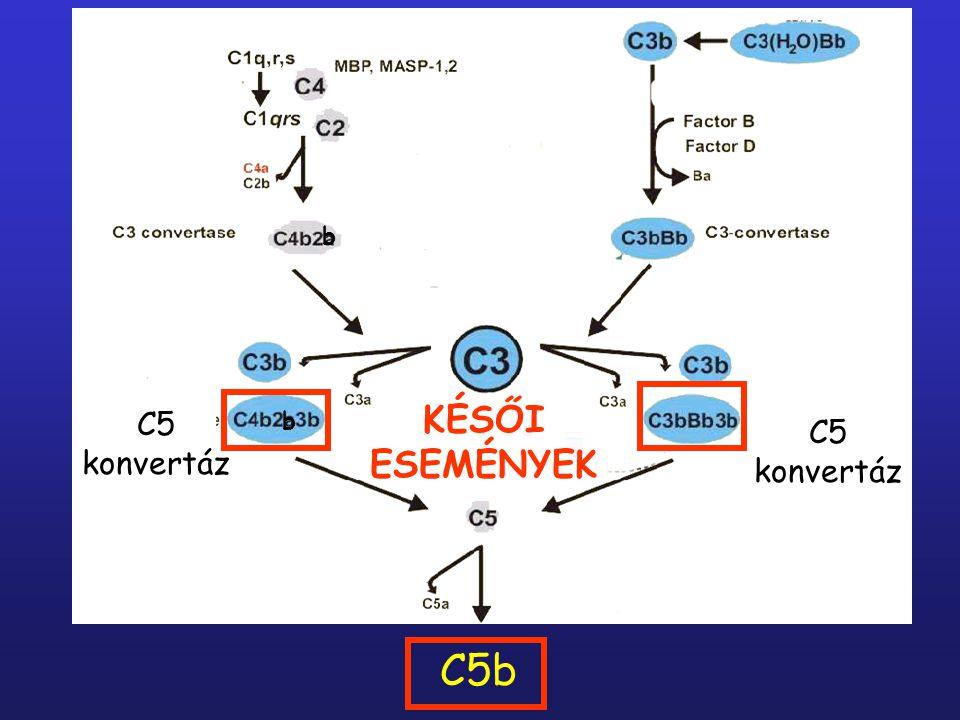 b C5 konvertáz KÉSŐI ESEMÉNYEK C5b