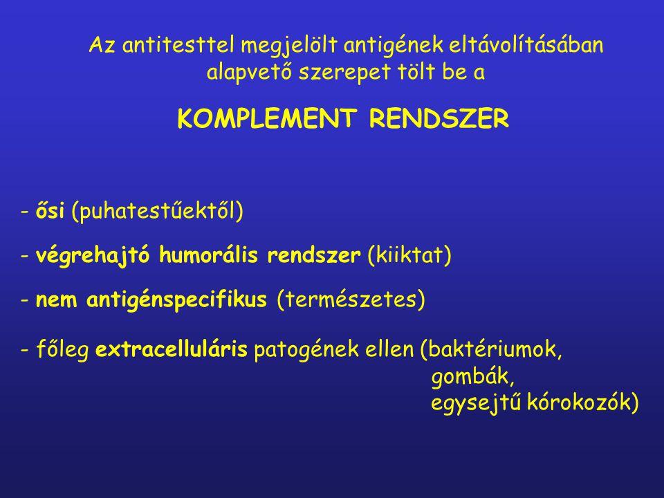 Az antitesttel megjelölt antigének eltávolításában alapvető szerepet tölt be a