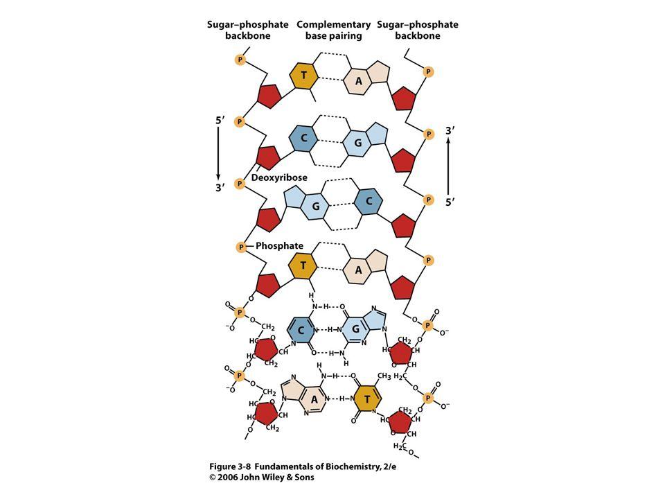 A DNS két antiparalel láncból felépülő ún
