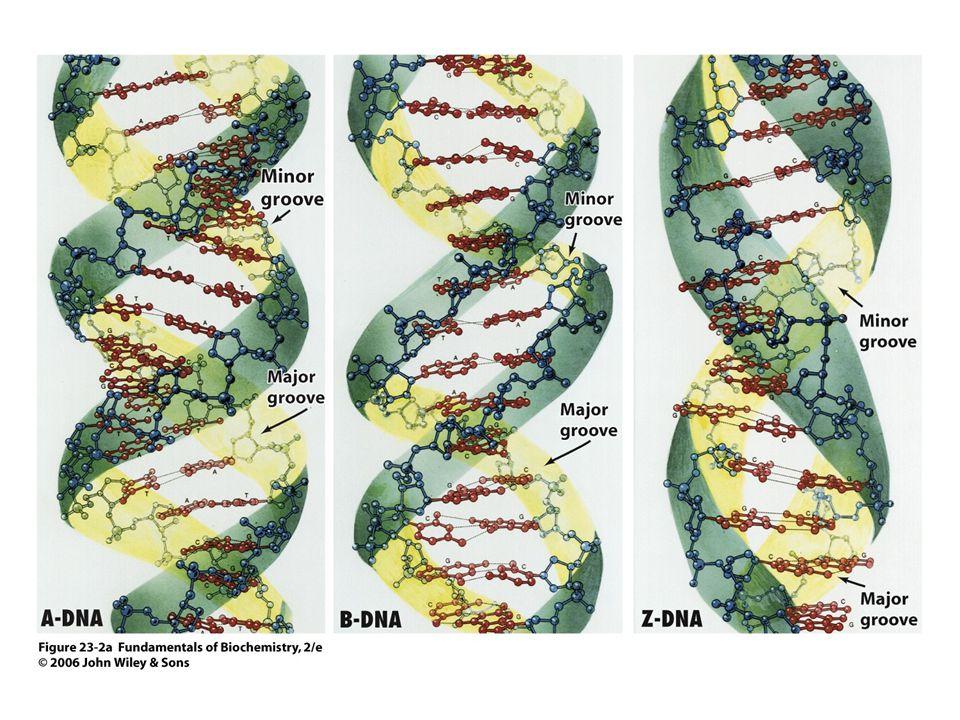 A DNS kettősspirál különböző megjelenési formái (konformációi)