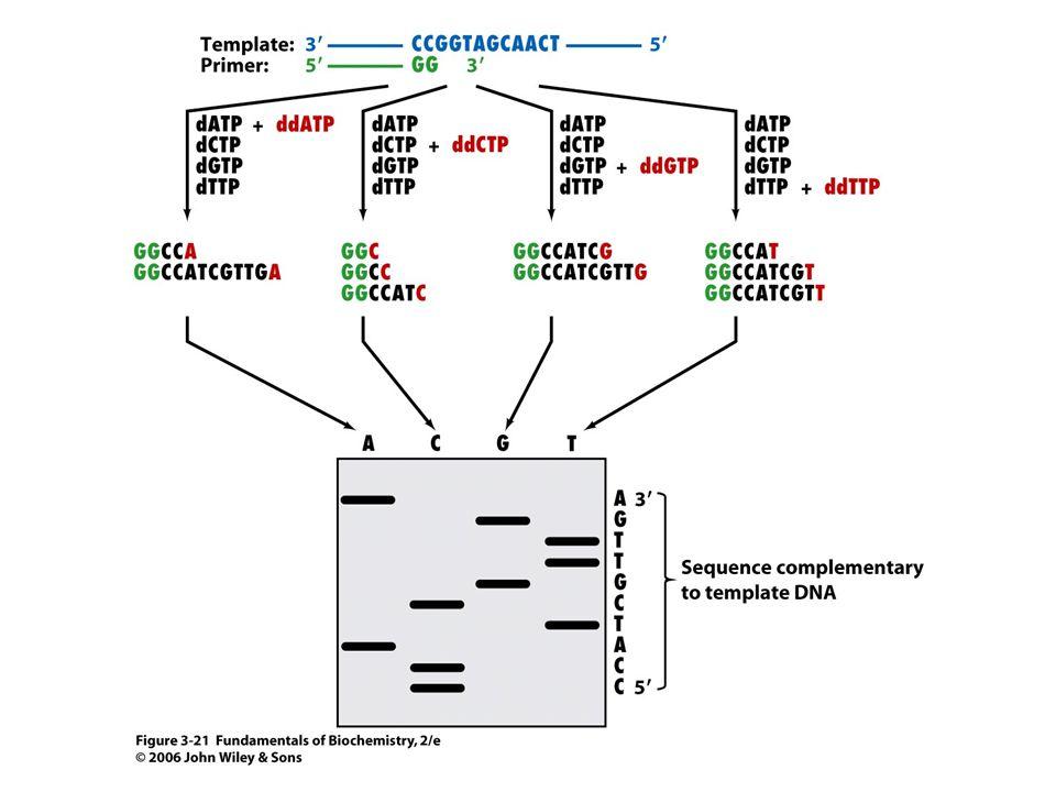 A Sanger-féle láncterminációs DNS szekvenálás