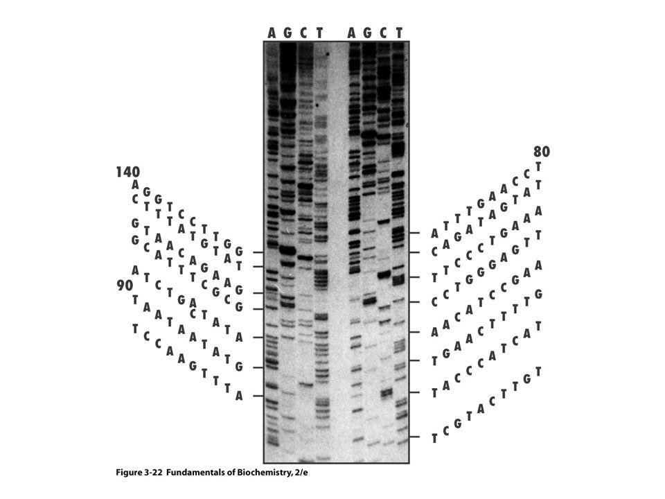 Radioaktívan jelölt DNS molekulák szétválasztása poliakrilamid gélelektroforézissel.