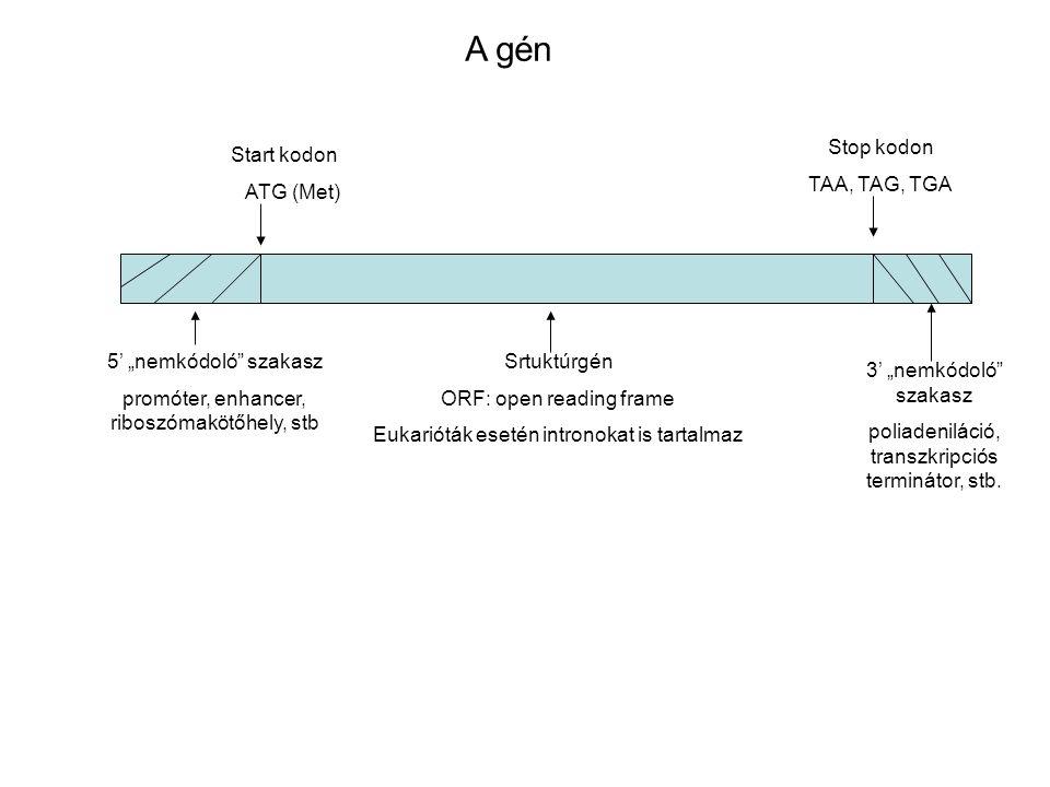 A gén Stop kodon TAA, TAG, TGA Start kodon ATG (Met)