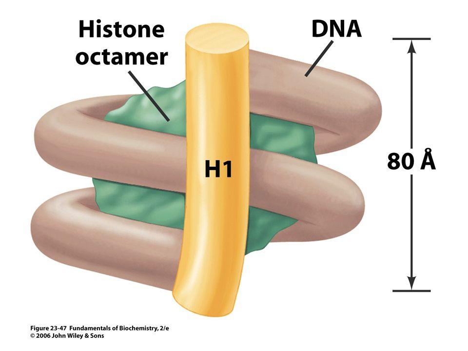Az eukarióta sejtek kromoszómáiban a DNS molekulák bázikus fehérjék, a hisztonok köré vannak feltekeredve (nukleoszóma).