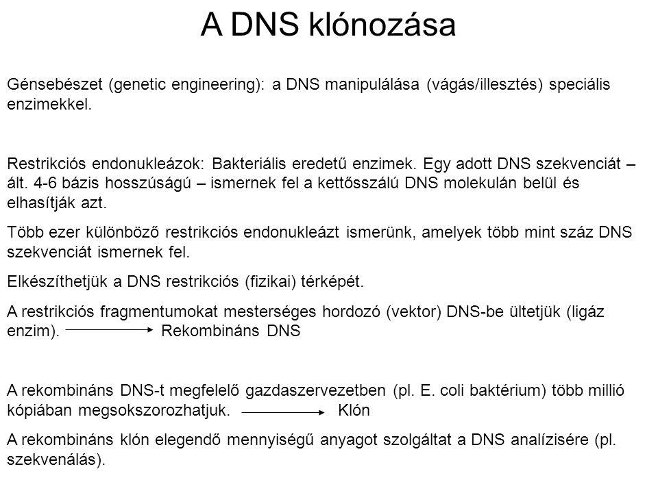 A DNS klónozása Génsebészet (genetic engineering): a DNS manipulálása (vágás/illesztés) speciális enzimekkel.