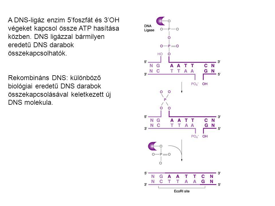 A DNS-ligáz enzim 5'foszfát és 3'OH végeket kapcsol össze ATP hasítása közben. DNS ligázzal bármilyen eredetű DNS darabok összekapcsolhatók.