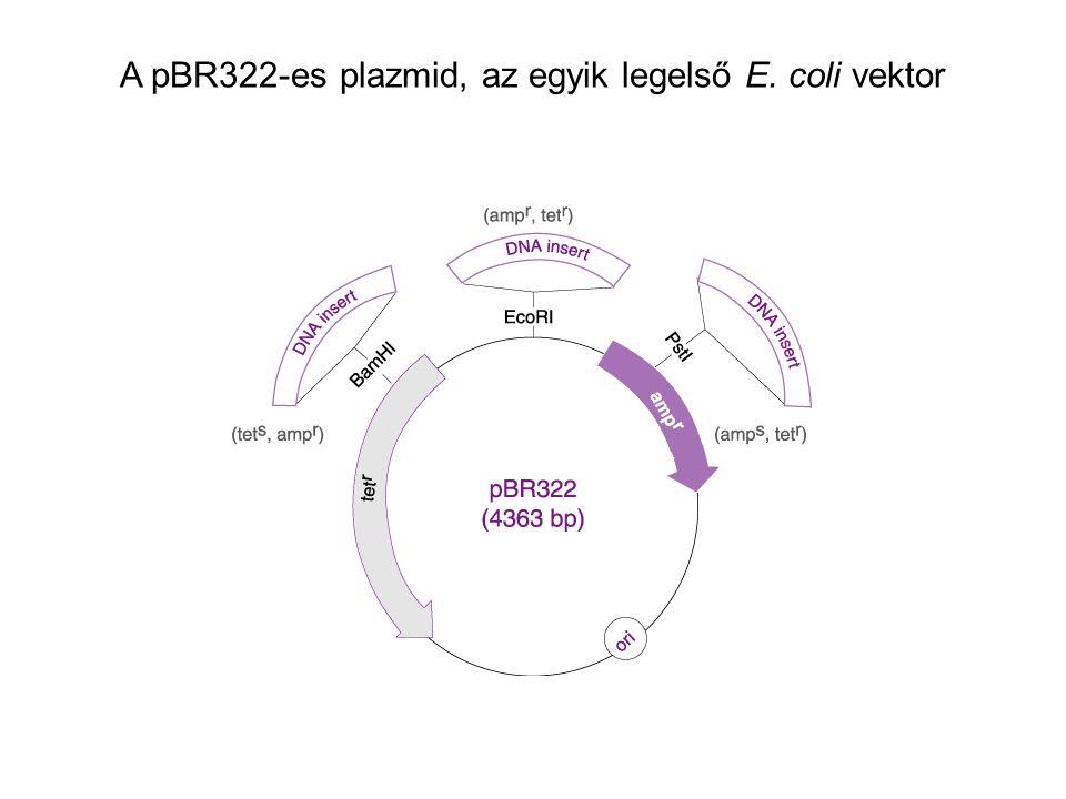 A pBR322-es plazmid, az egyik legelső E. coli vektor