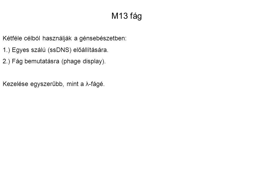 M13 fág Kétféle célból használják a génsebészetben: