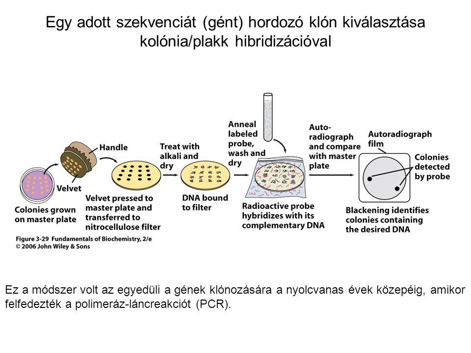 Egy adott szekvenciát (gént) hordozó klón kiválasztása kolónia/plakk hibridizációval