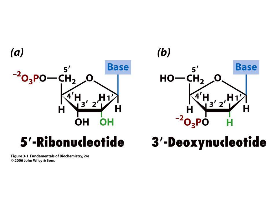 A nukleinsavak építőkövei a nukleotidok