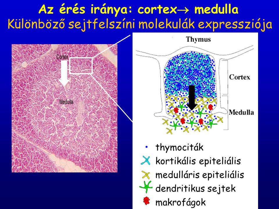 Az érés iránya: cortex medulla