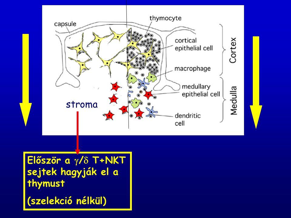 stroma Először a / T+NKT sejtek hagyják el a thymust (szelekció nélkül)