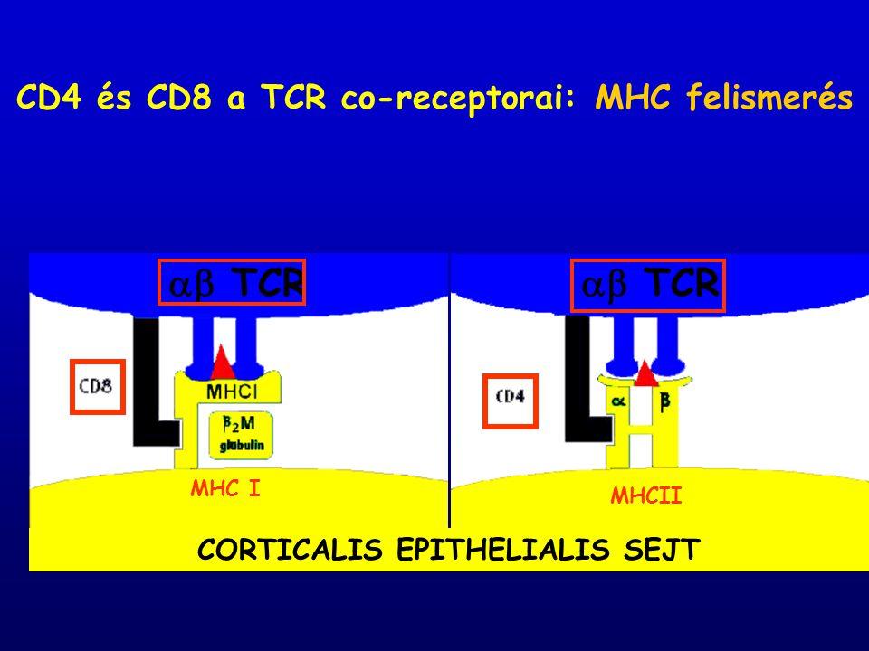  TCR  TCR CD4 és CD8 a TCR co-receptorai: MHC felismerés