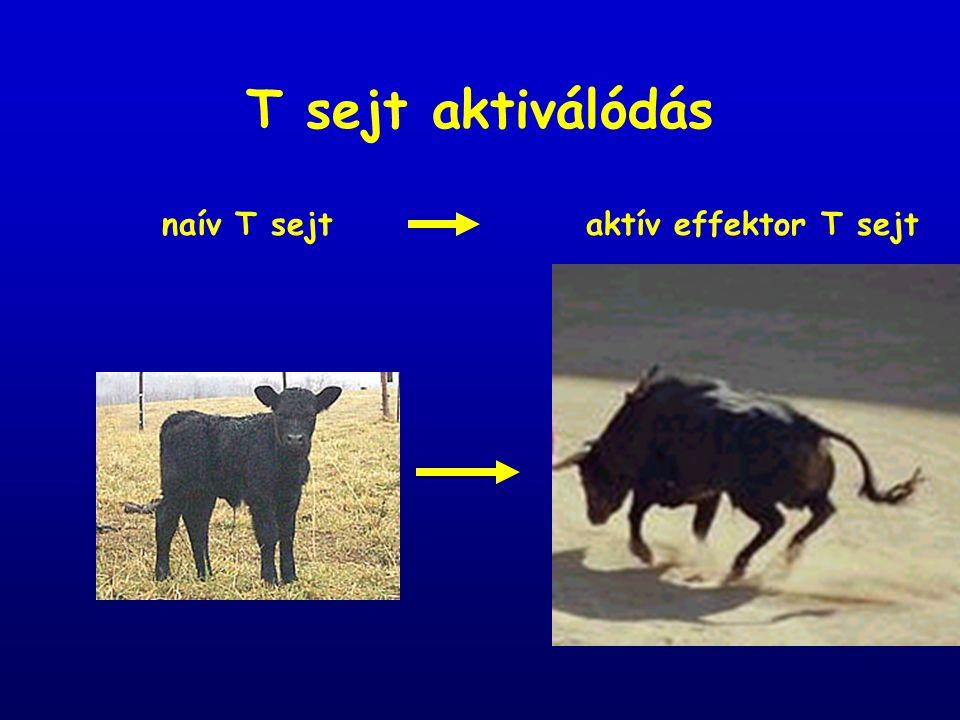 T sejt aktiválódás naív T sejt aktív effektor T sejt